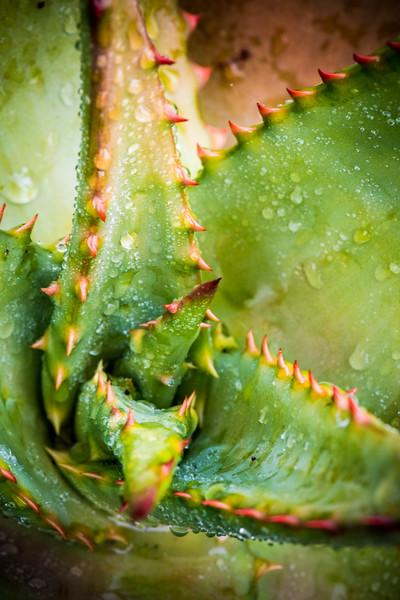Aloe ferox DSC_2132.jpg