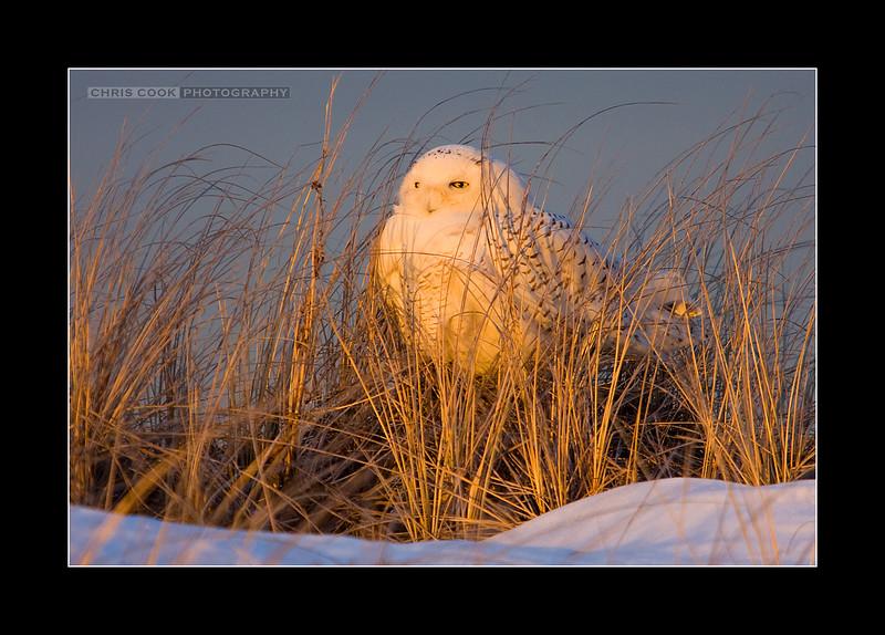 snowy-owl-1.jpg