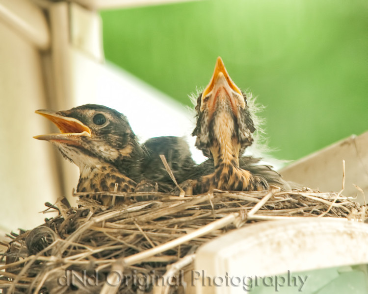 069 Baby Robins Spring 2013.jpg