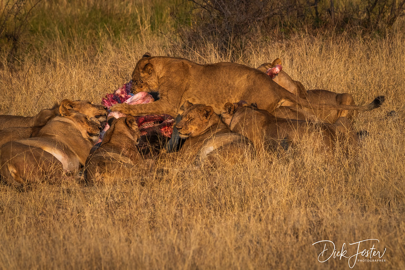 Lion Pride Sharing Meal of Cape Buffalo