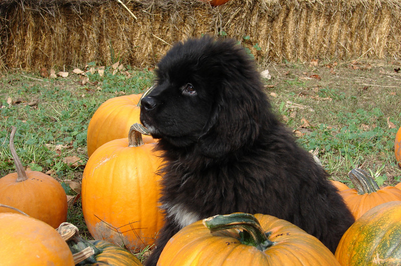 04- When the Pup is in the Pumpkins (Owen-Thurber)
