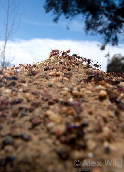 A nest of Iridomyrmex purpureus meat ants.  Yandoit, Victoria, Australia