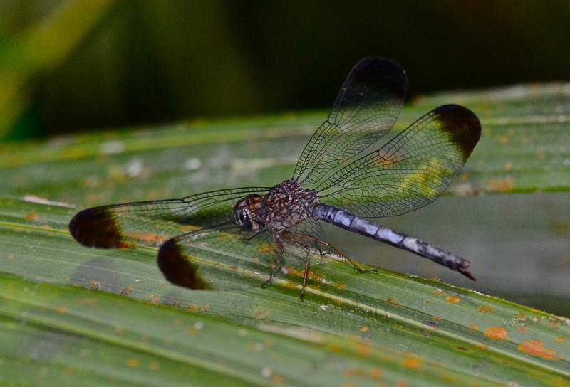 Dragonfly, Uracis fastigiata (male)