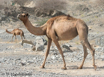 Single-humped Camel