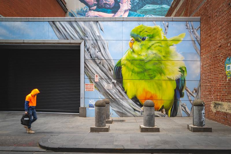 Orange-bellied Parrot in the CBD