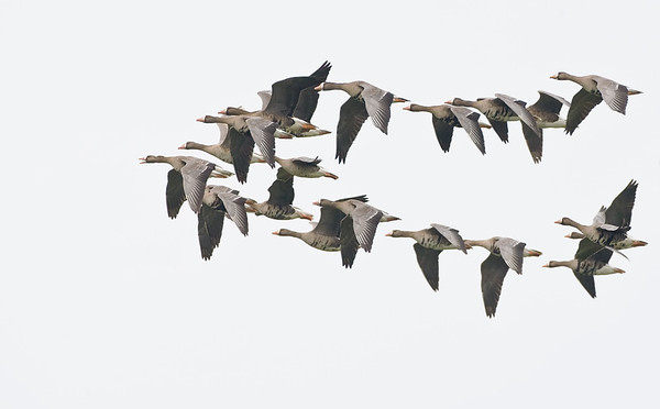 Greater Whitefronted Goose
