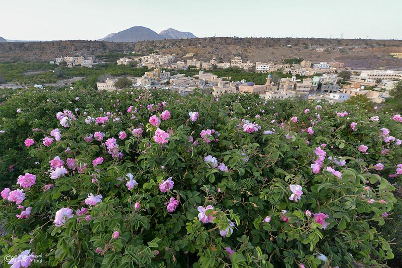 Roses Water (21)-Aljabal Alakhdhar-Oman.jpg