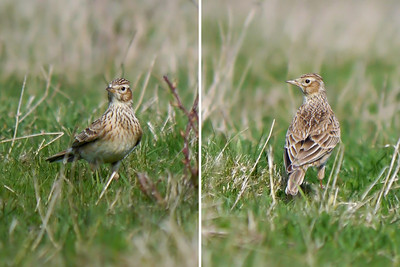 Pipits, Larks and Wagtails