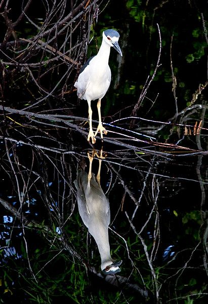 IMG_0788_Black-Crowned_Night_Heron_Everglades-onBlack_PRITN-2.jpg