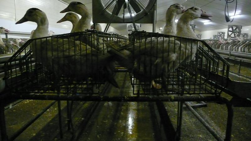 canards-foie-gras-2008-fr-B-066.jpg