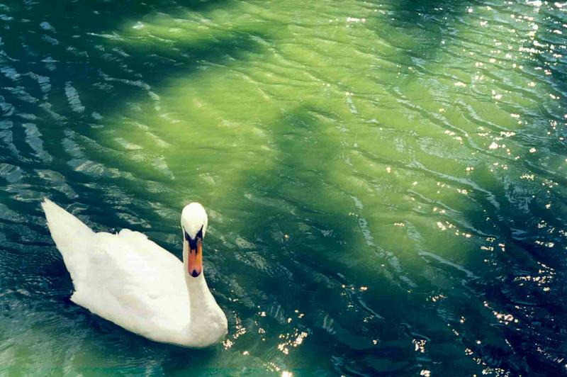 Swans in James Park 2.jpg