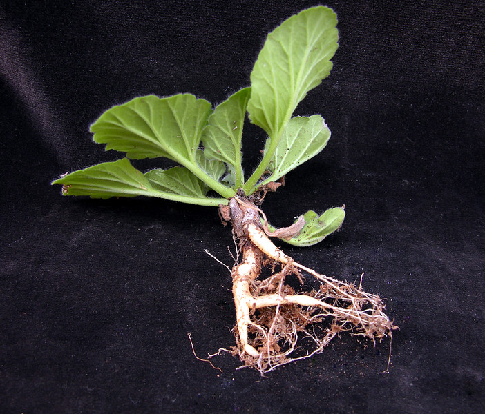 Pelargonium curviandrum tuber