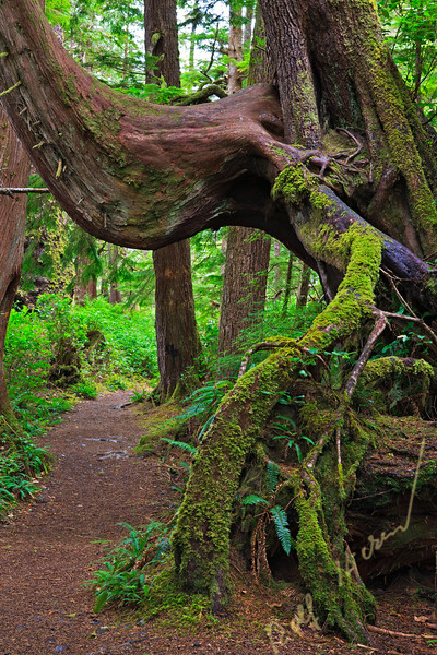 Moss covered tree root along the trail to San Josef Bay in Cape Scott Provincial Park, Northern Vancouver Island, Vancouver Island, British Columbia, Canada.