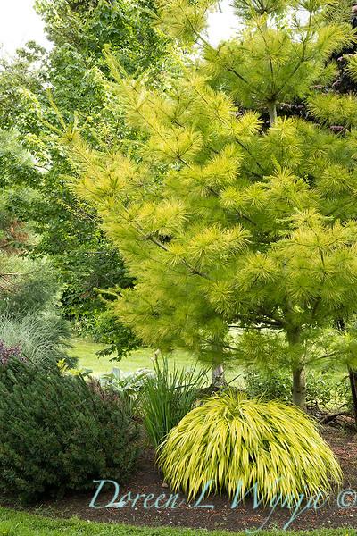 Pinus strobus 'Louie' – Hakonechloa macra 'Aureola'_6924.jpg