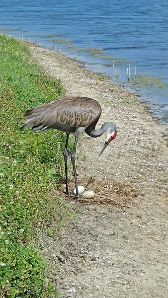 5_21_19 Sandhill Crane guarding her eggs.jpg