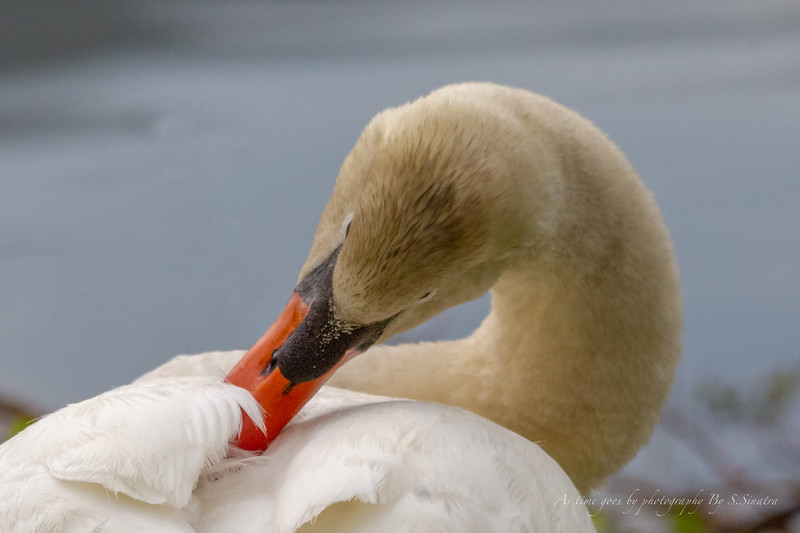 mute swan signed-48.JPG
