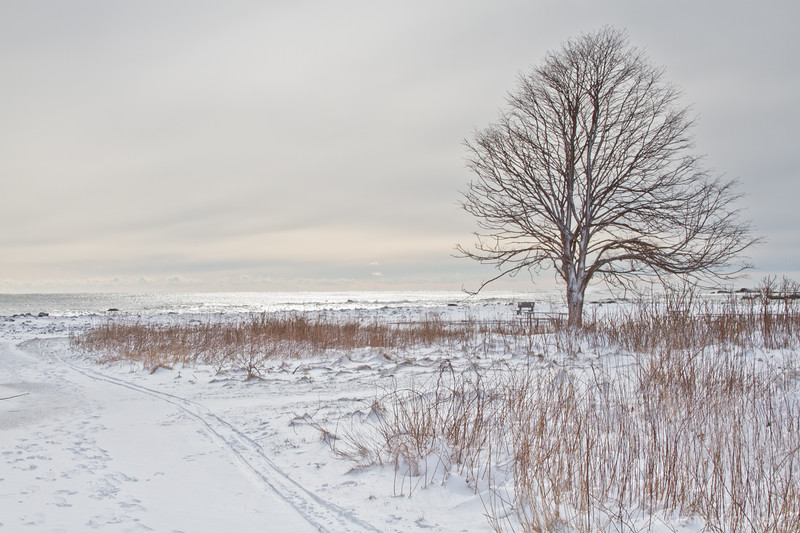 lone tree on a winter's day, Odiorne Point State Park, Rye, NH