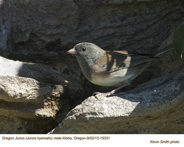 OregonJunco15331.jpg