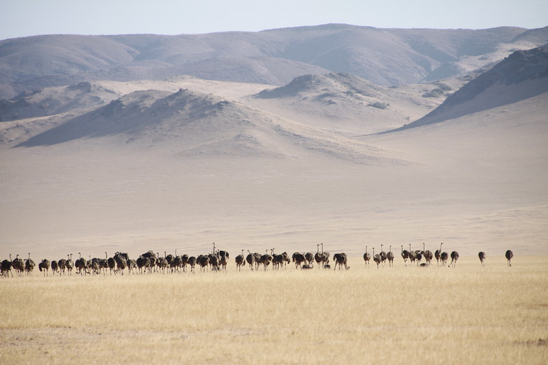 Ostriches in front of sand covered mountains