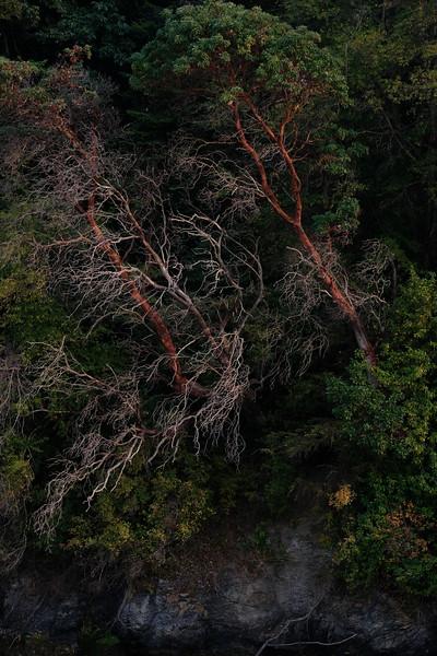 Leaning Cliff Trees.JPG