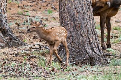 Elk Calf 06-05-2016