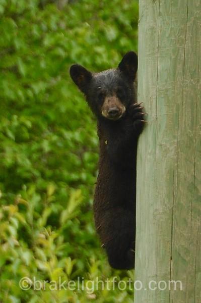 Black Bear Cub on a Power Pole