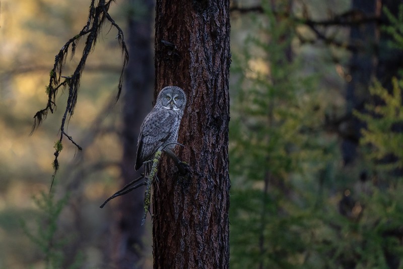 Great Grey Owl in the Forest