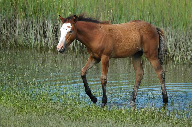 Wild Horse Foal in Salt Marsh