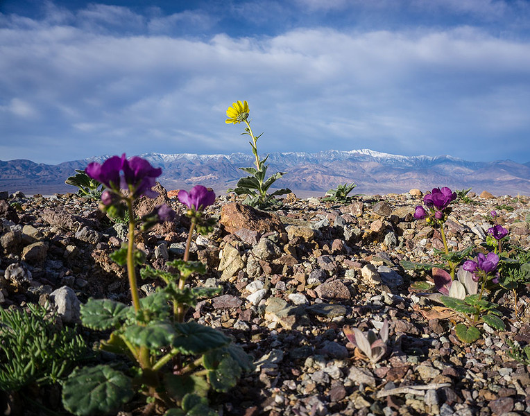 Death_Valley_Wildflowers_Telescope_Peak__DSC0266.jpg