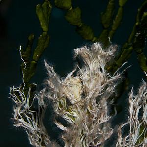 Salmacina dysteri (Serpulidae)