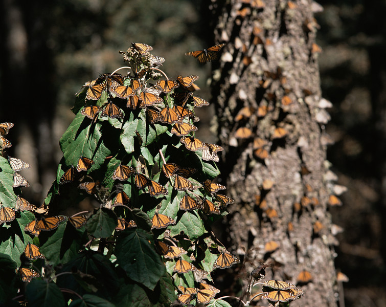 Monarch Butterfly Biosphere Reserve, Michoacan, Mexico / Monarch Butterflies, Danaus plexippus, flying and landing in under coniferous forest, Sierra Chincua. 12002H1 Provia 3/400