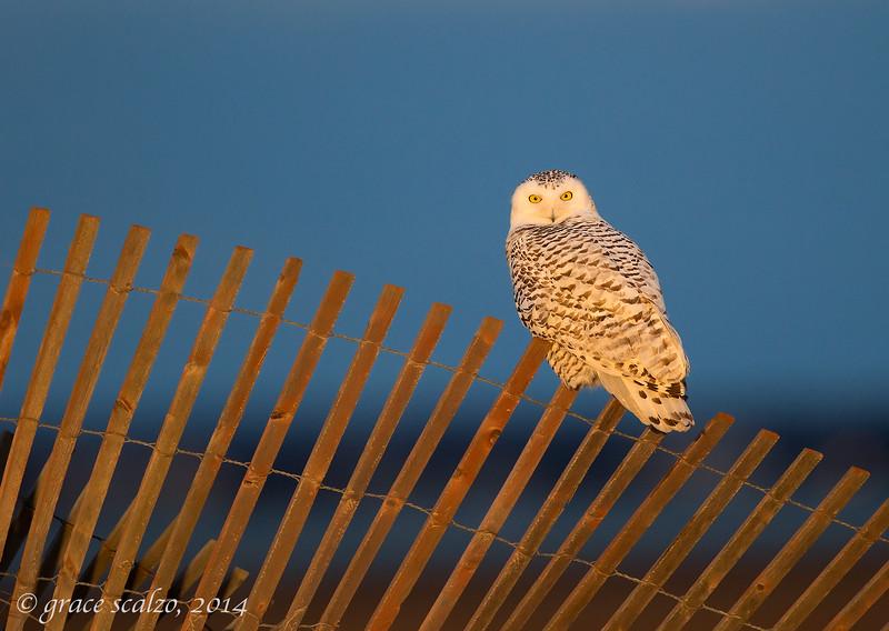 Snowy owl on Snow fence_O8U7344-Edit.jpg