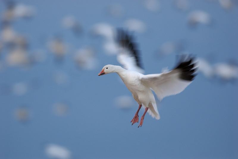 Snow Goose In-Flight #4 0721058