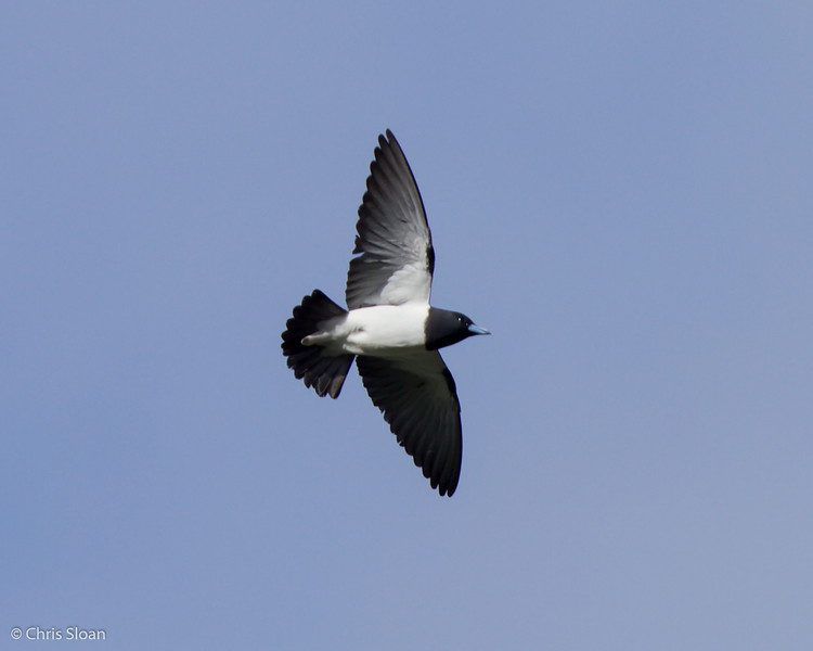 Great Woodswallow at Ambua Lodge, Papua New Guinea (10-06-2013) 1693.jpg