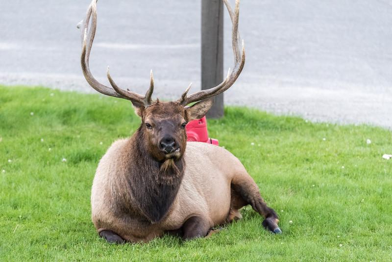 Elk-Mammoth-in-town-13.JPG