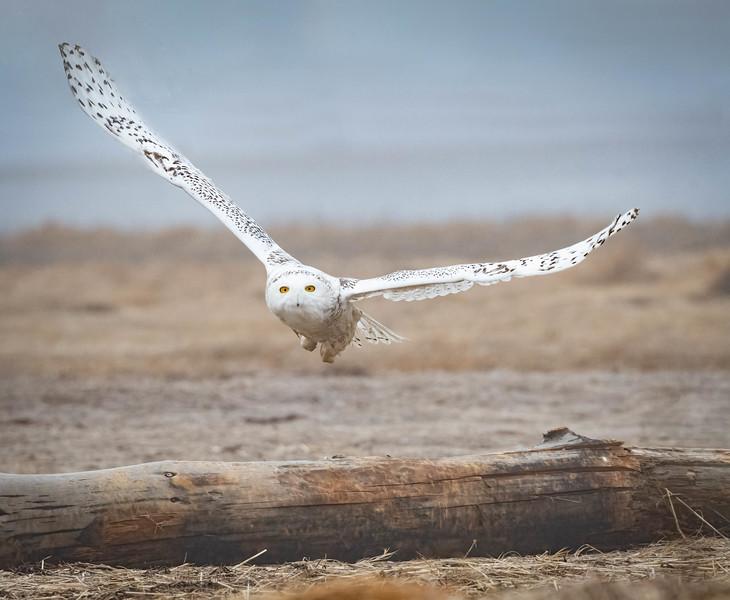 DSC_8050-Edit Snowy Owl Thumper take off.jpg