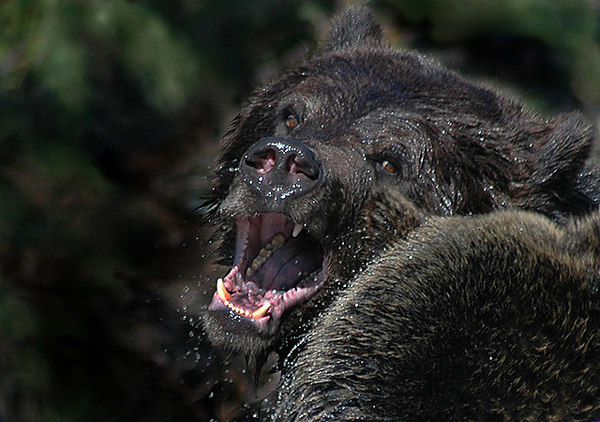 Grizzly Bears - Alaskan Brown Bears