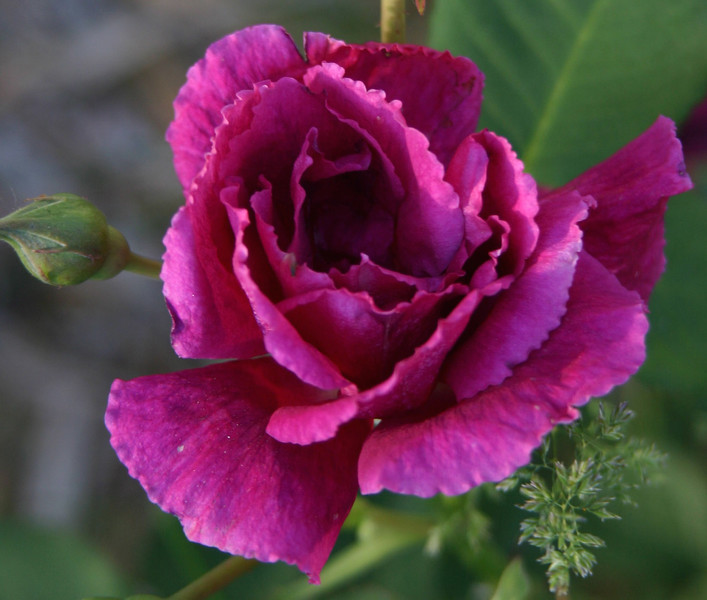 edited Fushia Rose 032.jpg