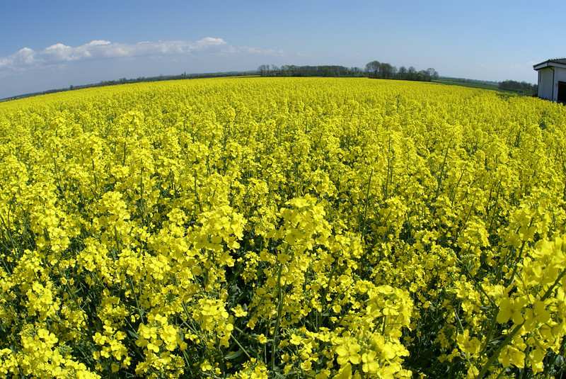 These fields were everywhere in Poland. They are common in Europe. They are plants that are used to make bio diesel.