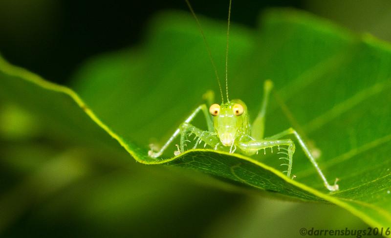 A bug-eyed katydid nymph (Tettigoniidae: Phlugidini: Phlugis sp. ) peers over the edge of a leaf in Panama.