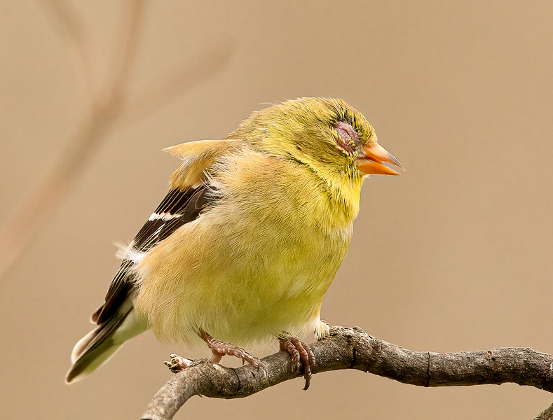 Avian Conjunctivitis in Goldfinch