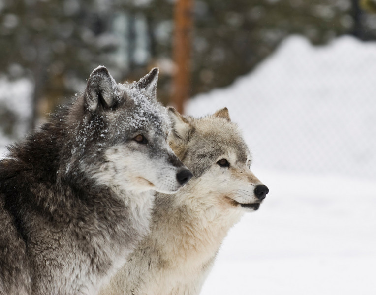 Two Wolves2773 copy.jpg