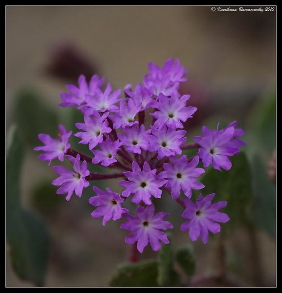 Sand Verbena, Torrey Pines State Reserve, San Diego County, California, April 2010
