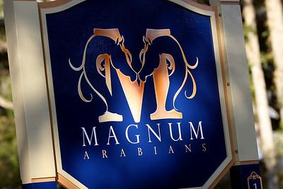 Magnum Arabians