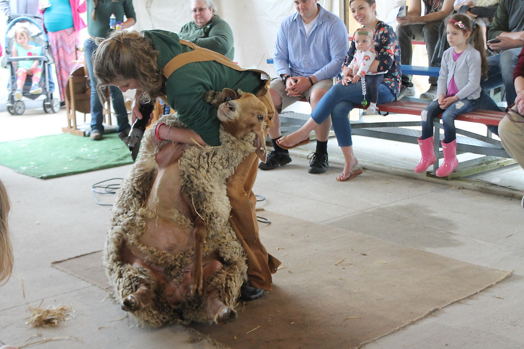 . Farmpark interpreter  and shepherdess shears a sheep with electric shears during the Farmpark\'s sheep shearing weekend on May 13. Kristi Garabrandt - The News-Herald