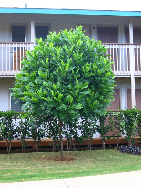 ! Filicium decipiens cultivated on hotel grounds Kauai 20021006_144-4463_img.JPG