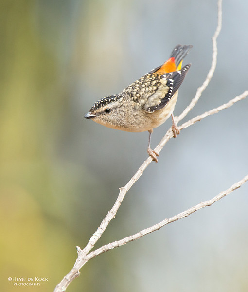 Spotted Pardalote, f, Capertee Valley, NSW, Sep 2013.jpg