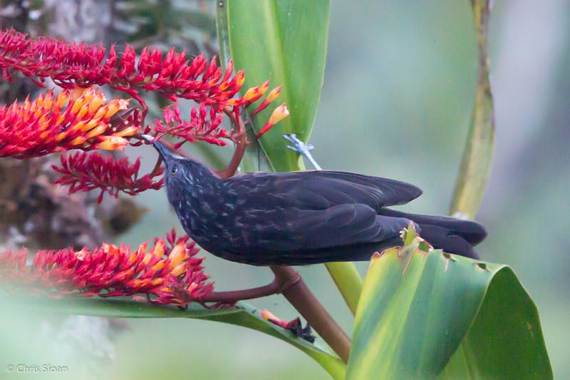Black-backed Honeyeater at Kumul Lodge, Papua New Guinea (09-30-2013) 581.jpg