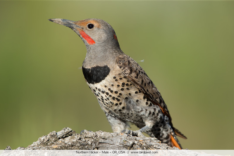 Northern Flicker - Male - OR, USA