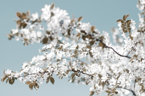 Sakura - Kirschblüten